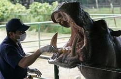 hippo-teeth-cleaning_New
